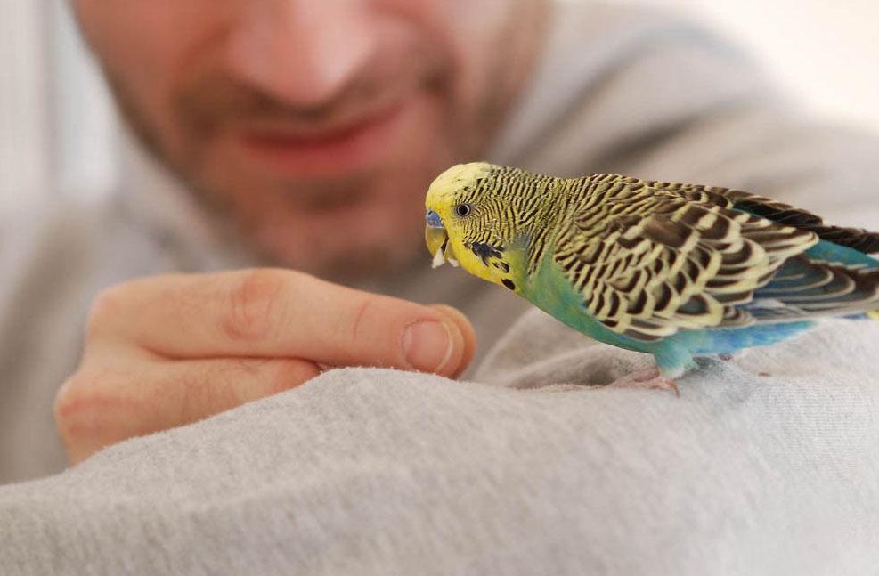 Шаг первый – доверие ручного попугая