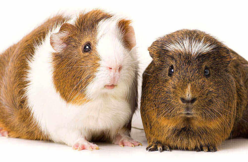 Главные отличия между самцами и самками морских свинок