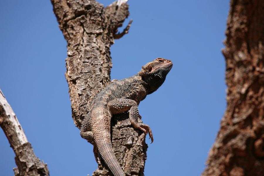 Агама на дереве