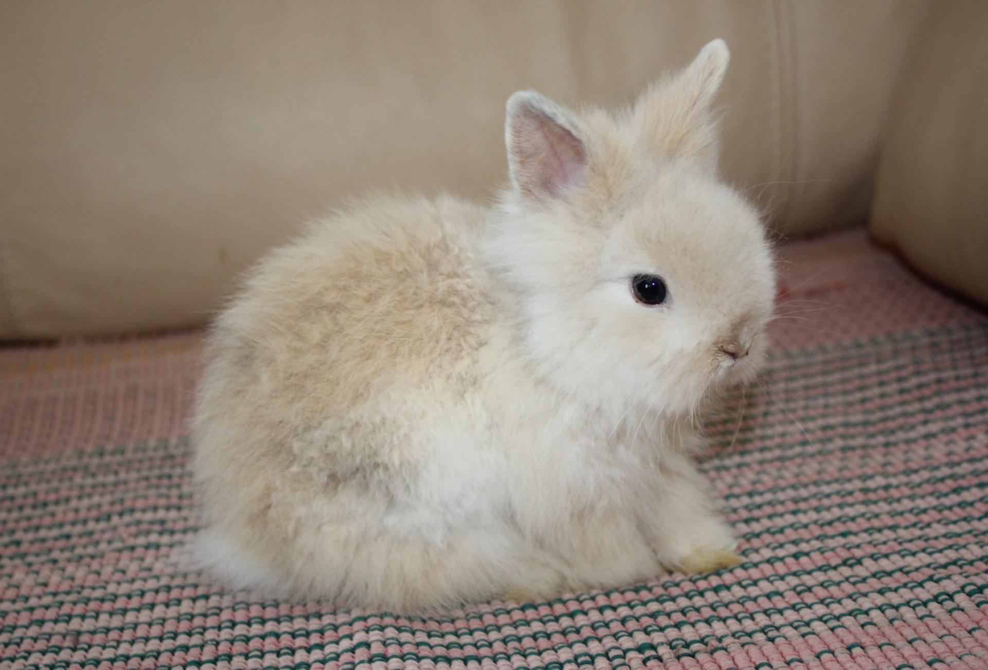 Декоративные кролики: породы, уход и содержание, чем ... Декоративные Кролики Уход