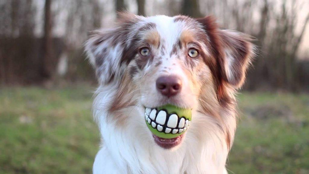 Австралийская овчарка с мячиком в зубах