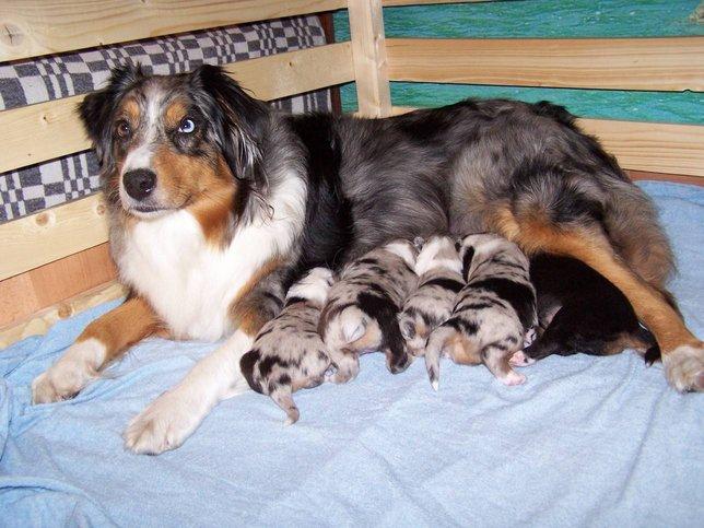 Австралийская овчарка со щенками