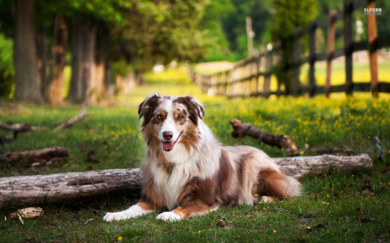 Австралийская овчарка: бдительный сторож и верный компаньон