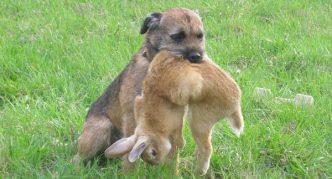 Бордер-терьер и заяц