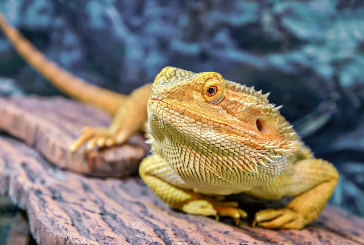 Бородатая агама: особенности содержания домашнего дракона