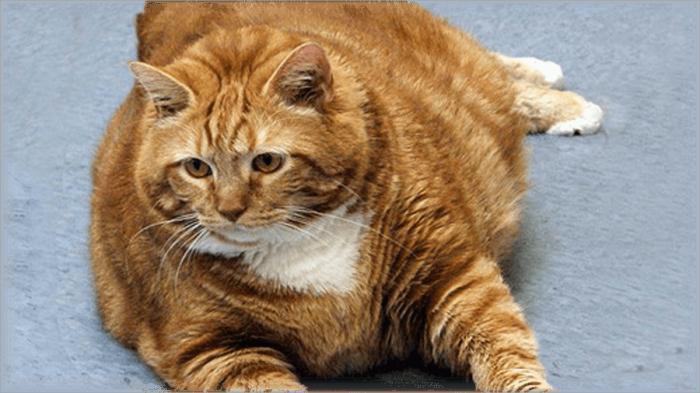 Чрезмерно упитанный кот