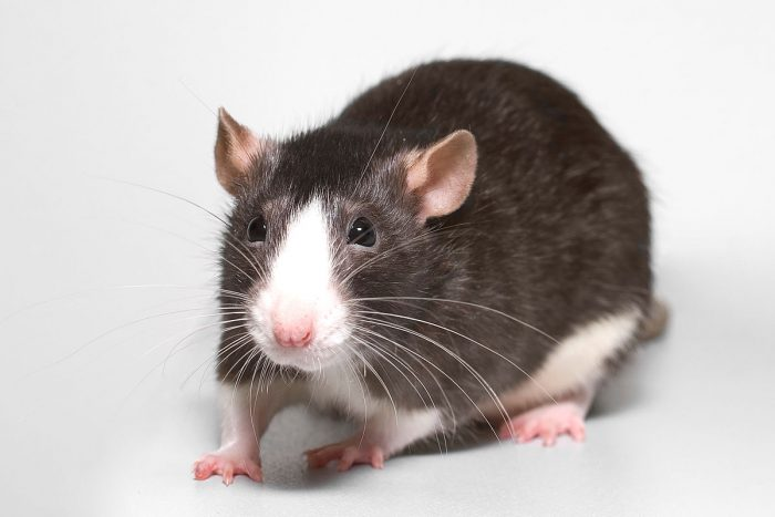 Породы декоративных крыс фото