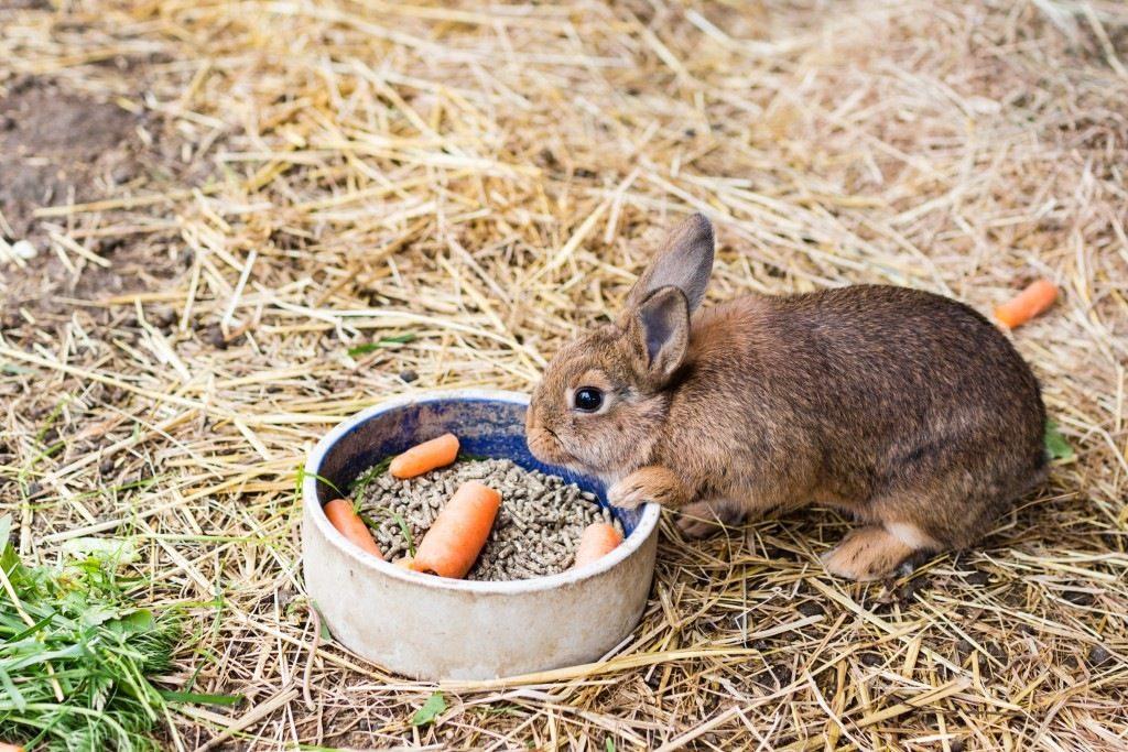 Декоративный кролик ест из миски
