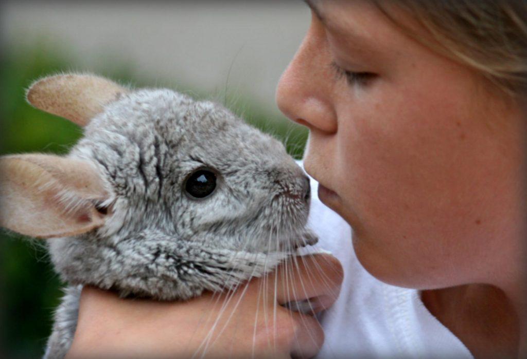 Девочка целует шиншиллу