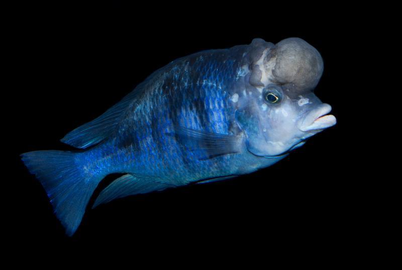 Голубой дельфин: рыбка, которой необходим особый уход