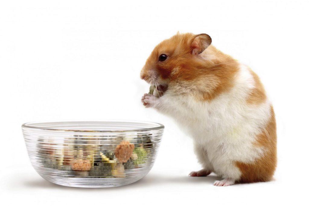 Хомяк ест из миски