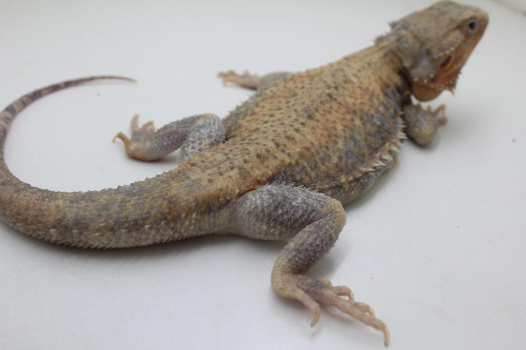 Japanese Silverback Dragons