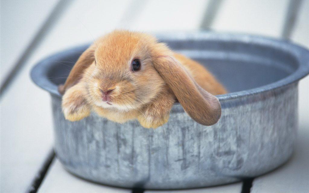 Карликовый кролик купается