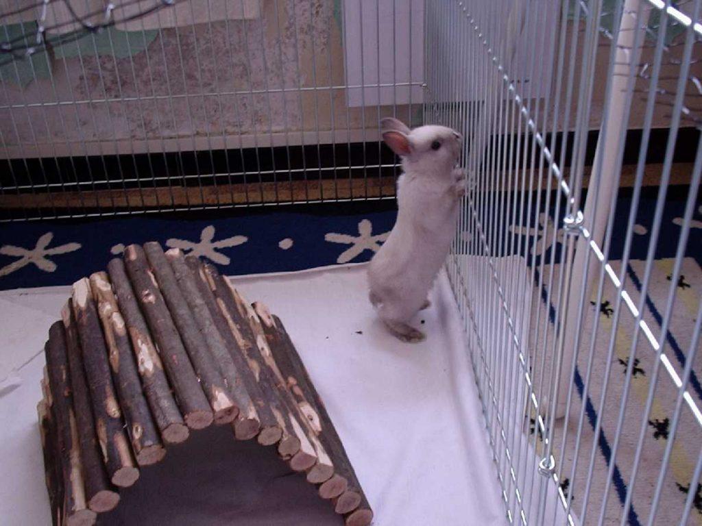 Карликовый кролик в клетке