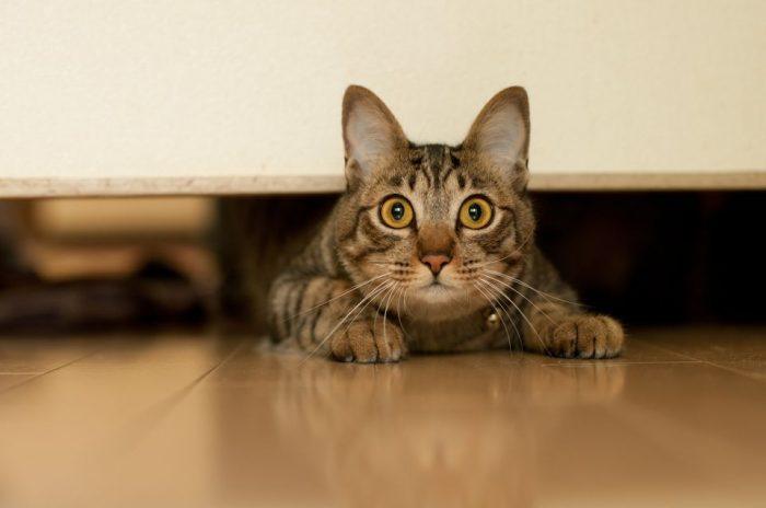 Кот выглядывает из-под двери