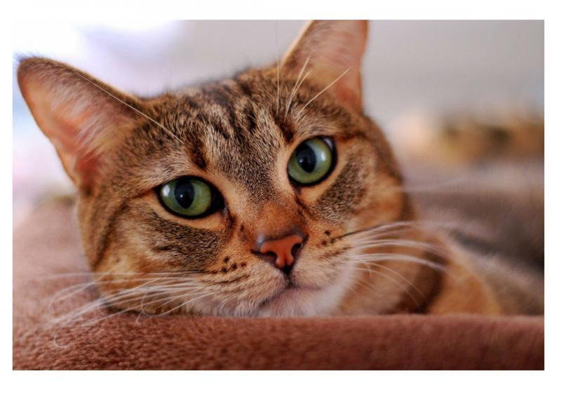 Перхоть у кошек — тревожный звоночек для хозяев