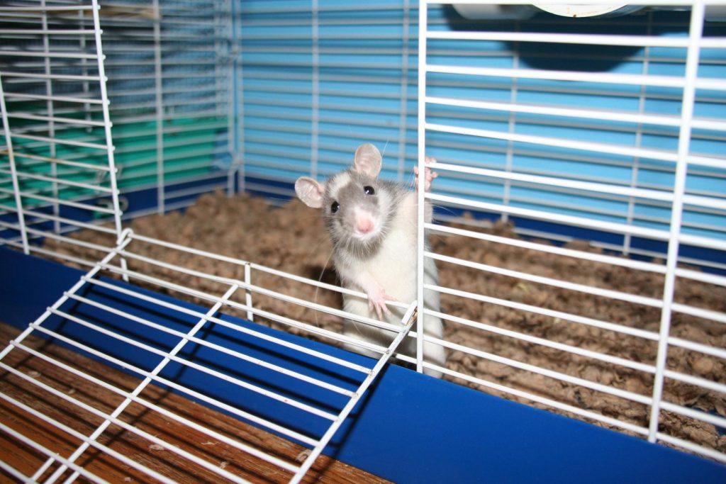 Крыса Дамбо в клетке