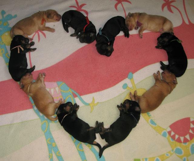 Новорождённые щенки ховаварта