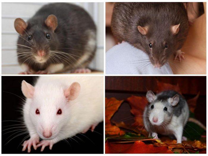 Породы декоративных крыс