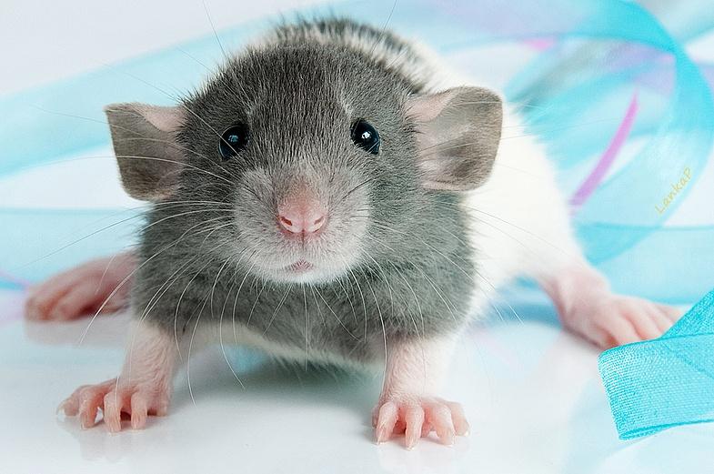 Декоративная крыса: уход и содержание в домашних условиях
