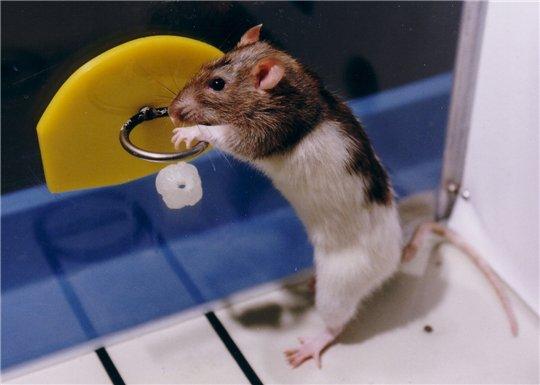 Крыса играет