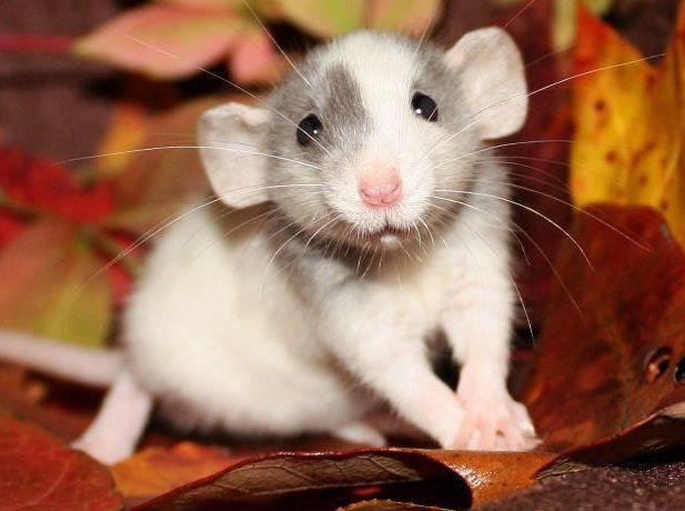 Крыса Дамбо: уход и содержание в домашних условиях