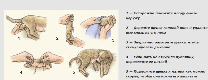 Собачьи роды схематично