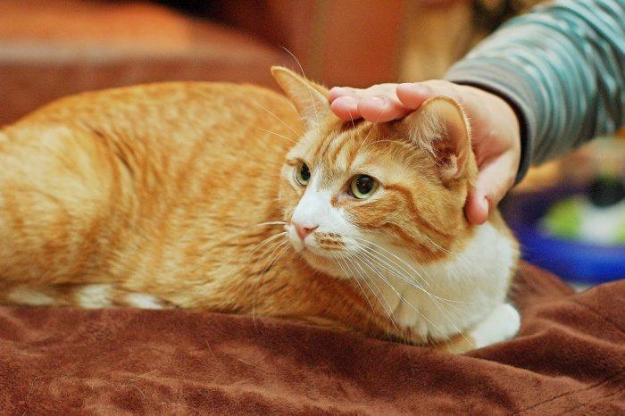 Рука гладит кота