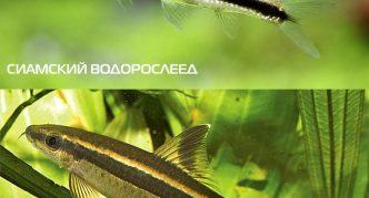 Сиамский водорослеед и гарра полосатая
